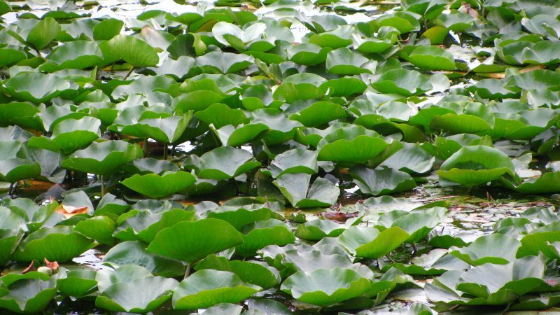 Pelee-Island-Lily-Pads-800x450