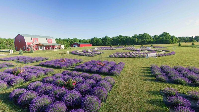 Fragrant-Isle-Lavender-Farm-5-800x450